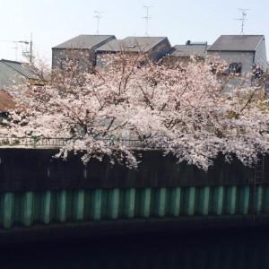 放出の桜3.31