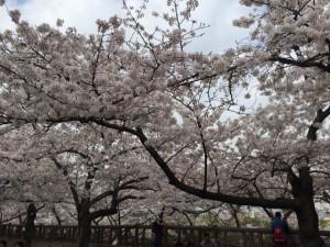 2015桜 昼の大阪城