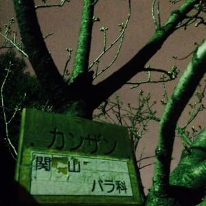 茨木桜祭り3